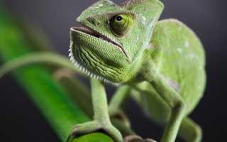 Что едят хамелеоны в домашних условиях