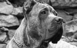 Порода собак коникорс