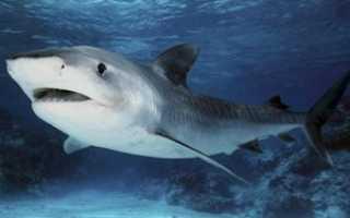 Акула рыба или млекопитающее