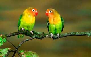 Как различить попугаев неразлучников