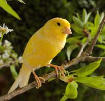 Канарейка это птица