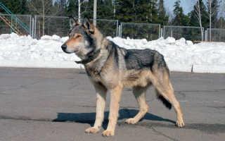 Порода собаки овчарка с волком
