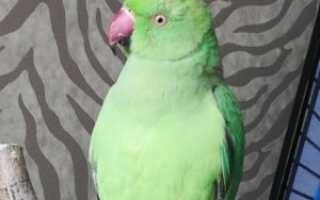 Ожереловый попугай сколько живут