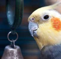 Заболел попугай корелла
