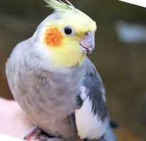 Попугаи корелла отличие полов