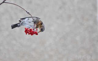 Что ест дрозд рябинник