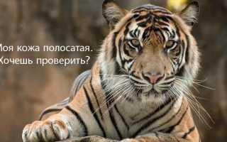 Полосатая ли кожа у тигра
