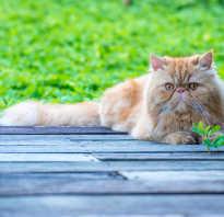 До скольки живут персидские кошки