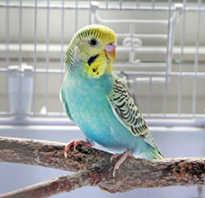Сколько стоит волнистый попугай на садоводе