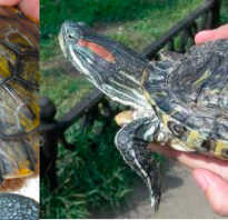 Мягкий панцирь у красноухой черепахи