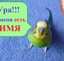 Как назвать попугая девочку голубого цвета