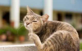 Как найти блох у кошки