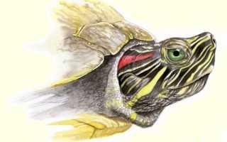 Черепаха относится к земноводным или пресмыкающееся