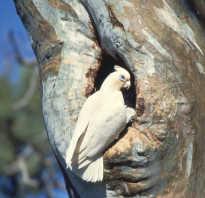 Попугай корелла разведение в домашних условиях