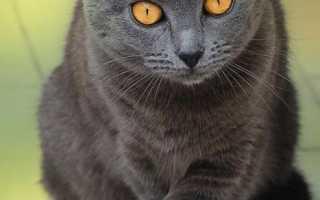 Дымчатый кот приметы