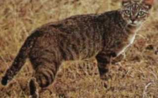 Полосатые коты откуда они взялись