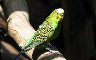 Волнистый попугай вики