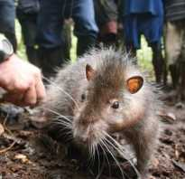 Крыса мутант фото