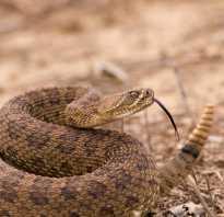 Большая ядовитая змея