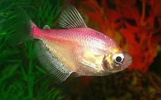 Треугольная рыбка в аквариуме
