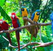 Чем питаются попугаи в природе