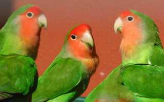 Раскраска неразлучники попугаи