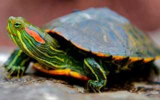 Водоплавающая черепаха уход