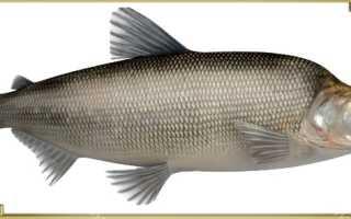 Сиг муксун рыба
