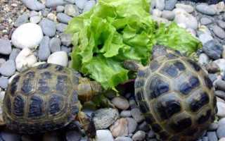 Черепахи водные домашние уход