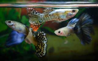 С кем уживаются рыбки гуппи