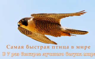 Скорость полета совы
