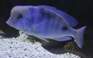 Рыбка голубой дельфин содержание