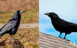 Птицы грачи вороны