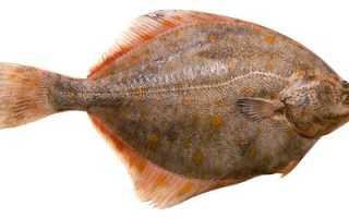 Все о рыбе камбала