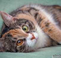 Персидская трехцветная кошка