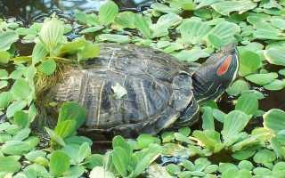 Видео красноухие черепахи в природе