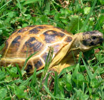 Среднеазиатская черепаха занесена в красную книгу