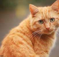 Все о рыжих кошках