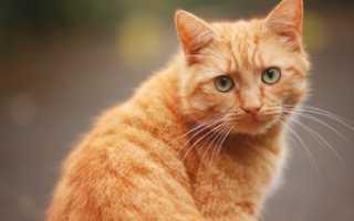 Большая рыжая кошка