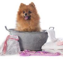 Как мыть шпица в домашних условиях
