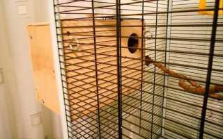 Птенцы волнистых попугаев фото