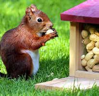 Едят ли белки грецкие орехи