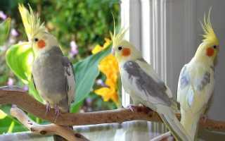Попугай корелла как кормить и ухаживать