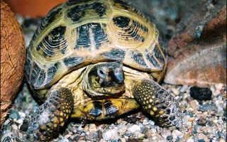 Сепия для черепах