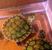 Почему некоторые люди содержат дома черепах