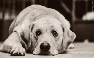 Кровяная моча у собаки причины