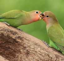 Неразлучники попугаи фото содержание