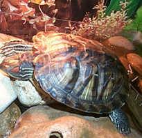 Черепаха спит под водой
