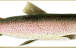Таймень рыба фото мяса