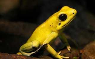 Желтая лягушка название
